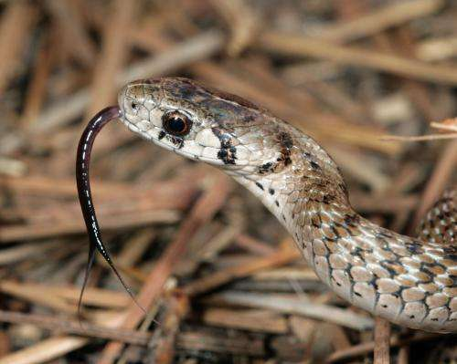 Why do snakes flick their tongues?