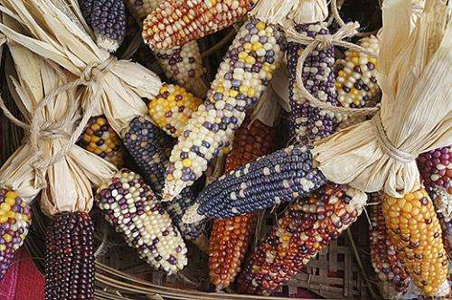 Study reveals troubling loss in Mexico's maize genetic diversity