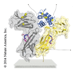 A closer look into the TSLP cytokine structure