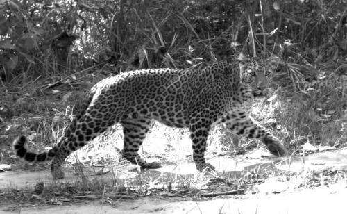 Conservation targeting tigers pushes leopards to change