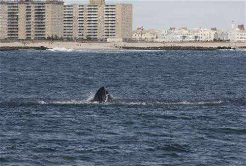 Humpback whales increasing in waters near NYC