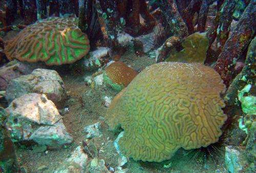 Mangroves protecting corals from climate change