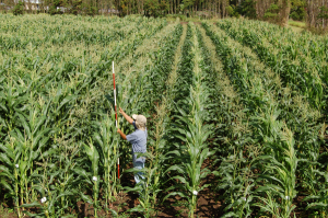 Researchers find corn yields more sensitive to drought, climate change