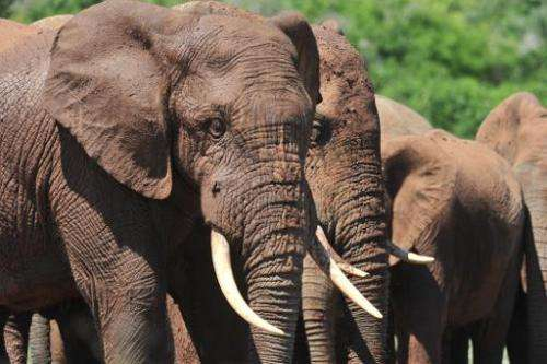 This file photo shows elephants in South Africa, pictured on February 9, 2013