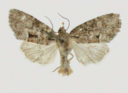 A new species of moth from the Appalachian Mountains named to honor the Cherokee Nation