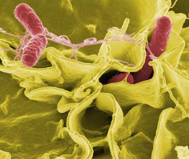 Researchers improve recombinant attenuated salmonella vaccines