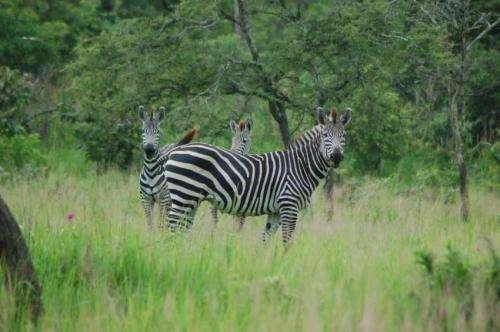 Scientists solve the riddle of zebras' stripes
