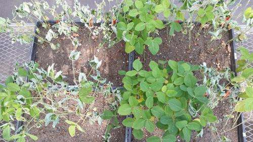 Climate change provides good growing conditions for charcoal rot in soybeans