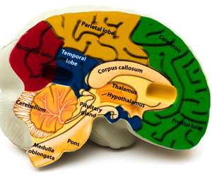 Scientists detect brain network that gives humans superior reasoning skills