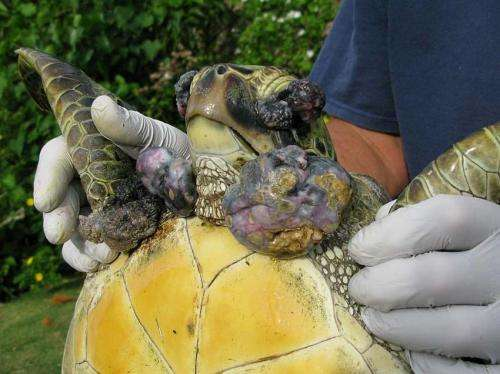 Researchers find organic pollutants not factor in turtle tumor disease