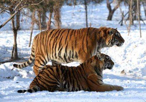 File photo taken in January 2014 shows a pair of Siberian tigers at the Siberian Tiger Park in Harbin in China's Heilongjiang pr