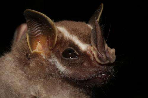 Scientists find distinctive patterns of olfactory receptors in fruit-eating bats