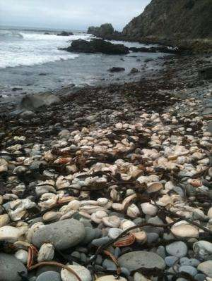 Scientists solve the case of the red abalone die-off using forensic genomics