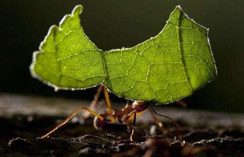 Leaf-cutter ant fungus gardens transform during biomass degradation