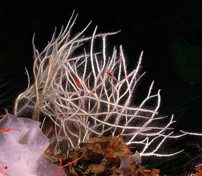 Researchers describe four new species of 'killer sponges' from the deep sea
