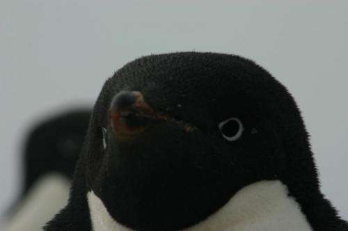 March of the penguin genomes