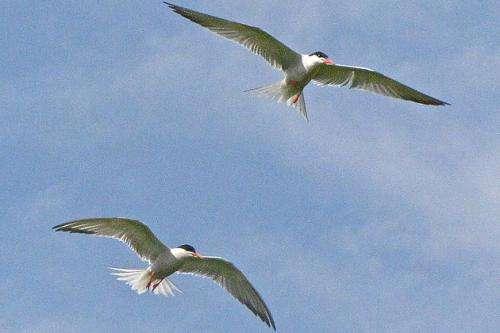 Preserving Crucial Tern Habitat in Long Island Sound