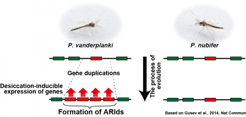 Researchers decipher genetic mechanism that makes the midge invulnerable to harsh conditions
