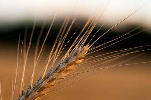 Scientists complete chromosome-based draft of the wheat genome