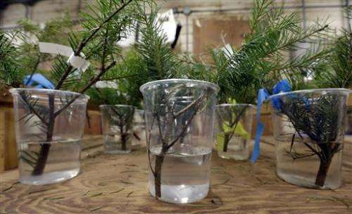 Scientists target mess from Christmas tree needles