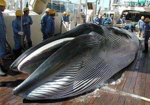 This handout picture from Japan's Institute of Cetacean Research (ICR) in 2013 shows a Bryde's whale on the deck of a ship durin