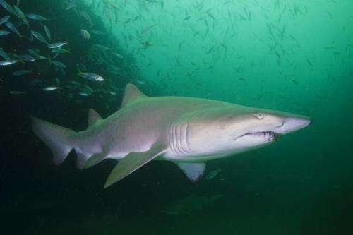 Ear to the ground on shark sense