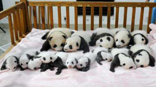 File photo taken on September 23, 2013 shows new-born panda cubs in a crib at the Chengdu Research Base of Giant Panda Breeding