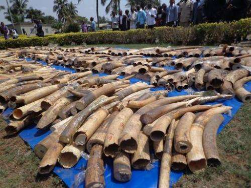 Picture taken on February 4, 2014 shows a haul of ivory at the security ministry in Togo's capital Lome seized at the city's aut