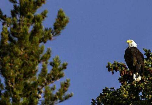 A Bald Eagle perches in a tree on October 8, 2012 in Yellowstone National Park in Wyoming