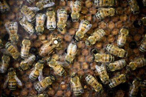 A bee queen (white dot) stands amongst other bees on September 9, 2014