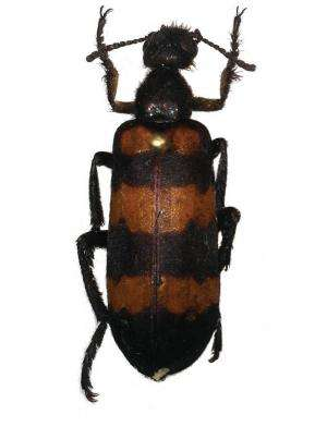 A beetle named Marco Polo