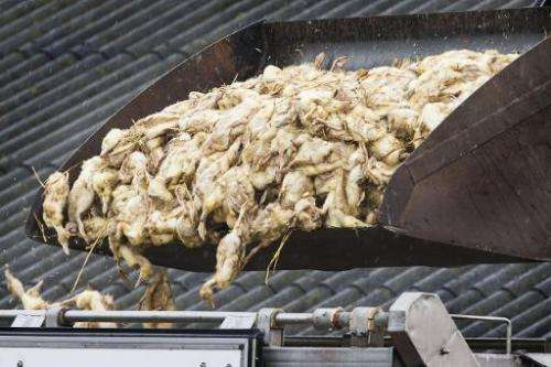 About 15,000 ducks were culled from a duck farm in Kamperveen, The Netherlands, on November 22, 2014