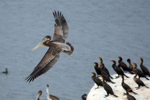 A brown pelican lands on Mullet Island near Calipatria, California on July 3, 2011