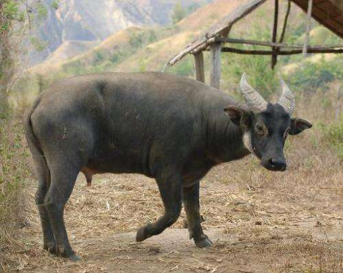 Philippines' rare dwarf buffalo charges against extinction