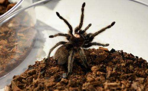 "A Chilean Rose Hair Tarantula sits in a bowl during a media preview for ""Spiders Alive"" July 1, 2014 at the American M"