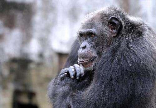 A chimpanzee at the zoo in Abidjan, Ivory Coast, on June 12, 2014