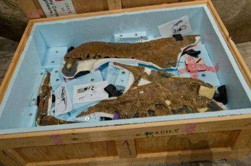 A crate containing the fossilized jaw bone of The Nation's T. rex (Tyrannosaurus rex) presented to the museum by the US Army Cor