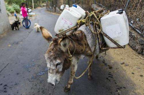 A donkey carries containers of water from a public water pump in Mexico City on April 29, 2014