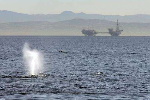 A fin whale surfaces near offshore oil rigs off the southern California coast on January 29, 2012 near Long Beach, California