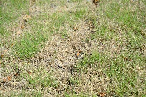 AgriLife Research expert: Drought, water limitations survivable by turfgrasses