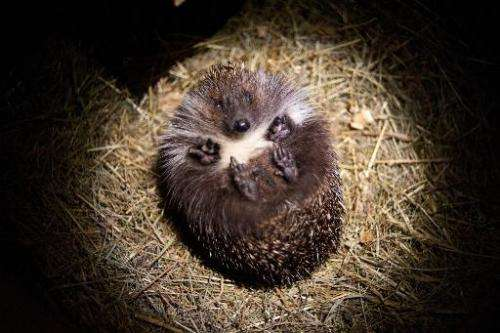 A hedgehog is pictured at the Kuziomski Igliwiak Foundation care center in Krakow, Poland on June 30, 2014
