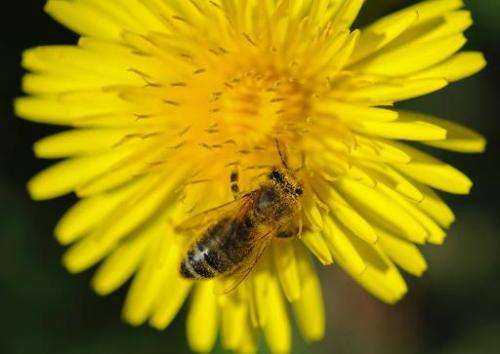 A honeybee crawls on a dandelion blossom in Freiburg, southern Germany on April 9, 2011