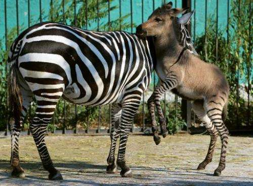 A hybrid (R) of zebra and a donkey plays with his mother at the Taigan zoo park outside Simferopol on August 5, 2014. The 'zonke