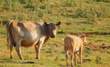 Algae could boost livestock productivity
