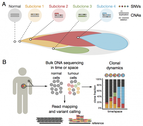 Algorithm reconstructs lineages of competing cancer cells within individual tumours