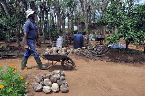 A man wheels coconuts in a barrow at the Centre Songhai, an organic farm in Porto Novo, Benin, on January 30, 2014
