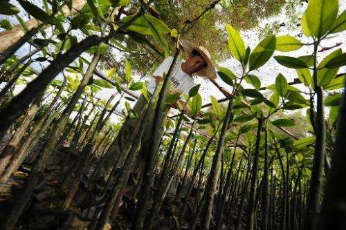 A man works with mangrove saplings to be used in the Tagum city mangrove reforestation program in the southern Philippines islan