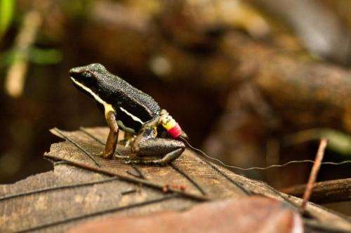 Amazon frogs found to build mental maps of their local area