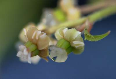Amborella genome sequenced using material from UCSC Arboretum