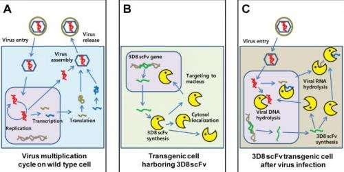 A mini-antibody with broad antiviral activity chews up viral DNA and RNA
